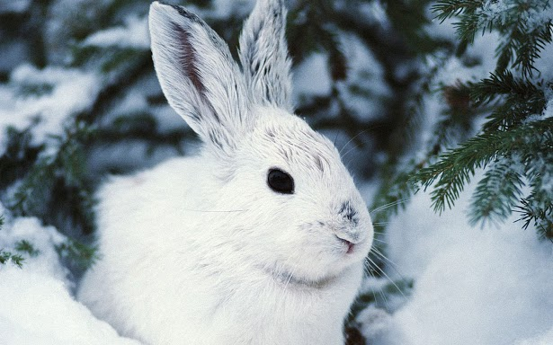 White-Rabbit-in-Snow-Wallpaper