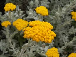 Beautiful image of the helichrysum herb and yellow flower