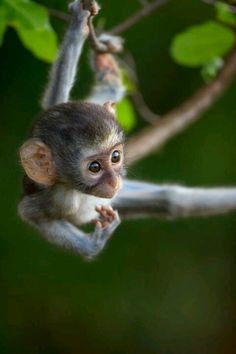 Darling baby monkey hanging from a tree
