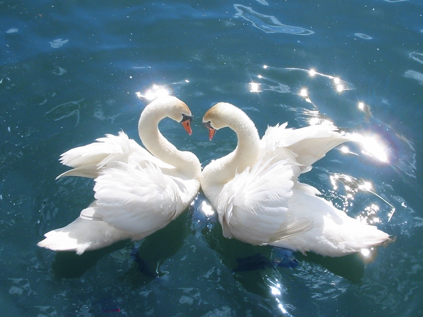 2 beautiful swans on glowing water