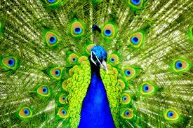 Vibrant Green and Blue Peacock Feathers
